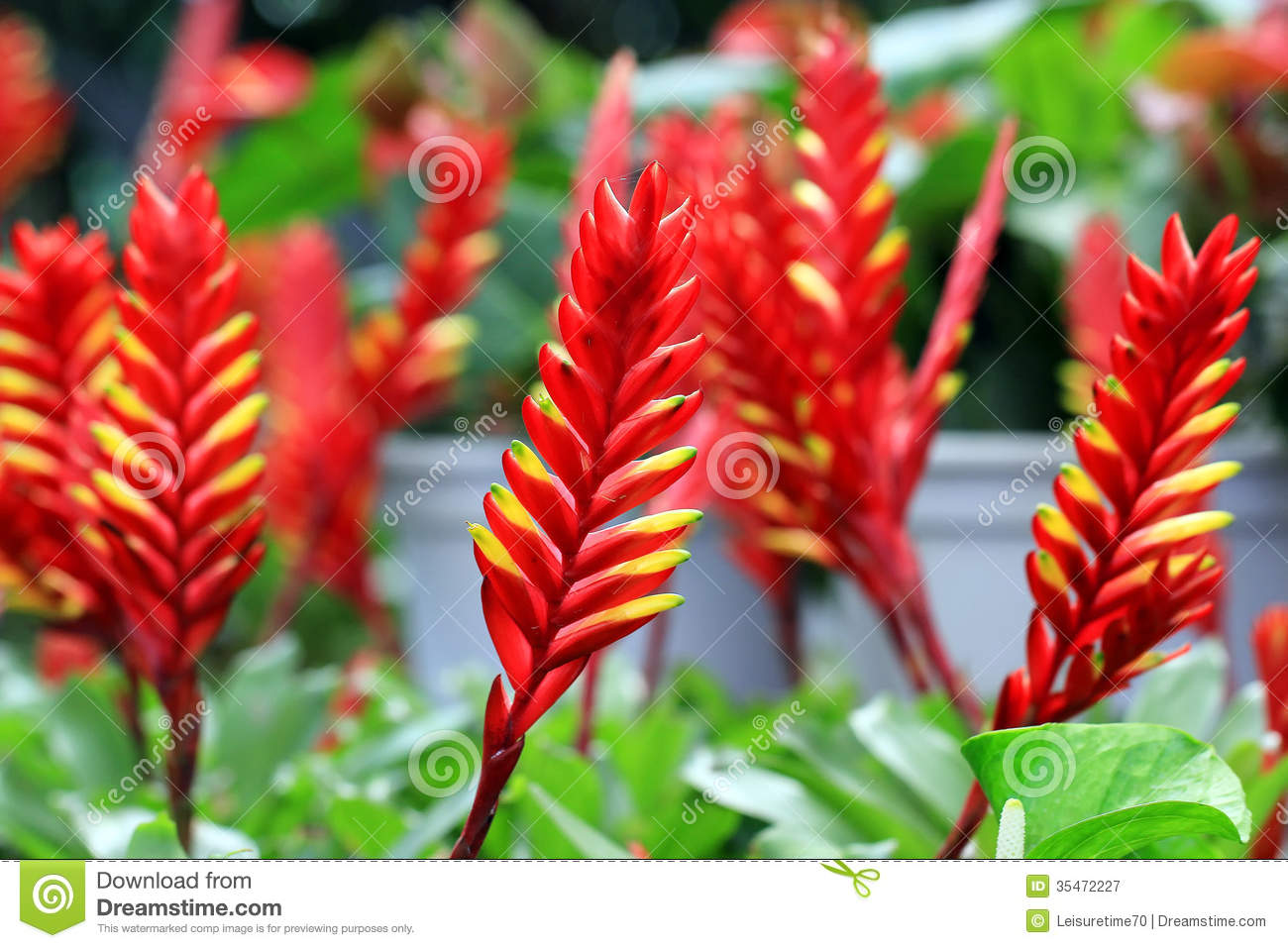 Bromeliad Or Vriesea Splendens Royalty Free Stock Photography.