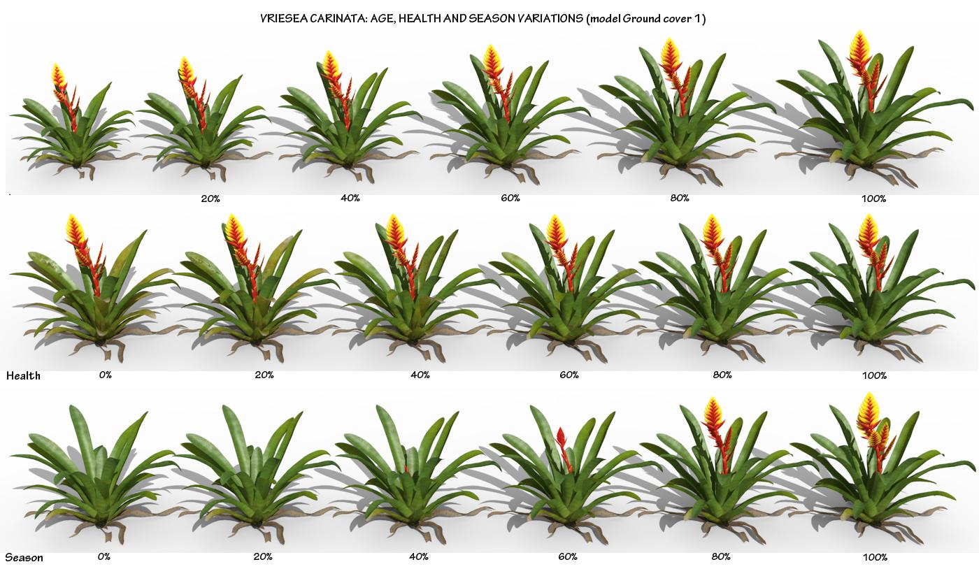 Vriesea carinata.