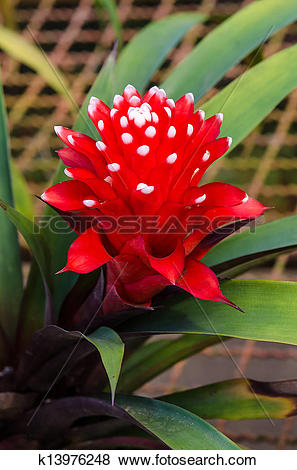 Pictures of Vriesea pineapple flower k13976248.