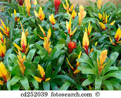 Bromeliad Images and Stock Photos. 1,544 bromeliad photography and.
