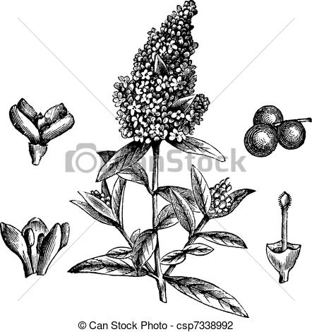 Vulgare Illustrations and Stock Art. 55 Vulgare illustration and.