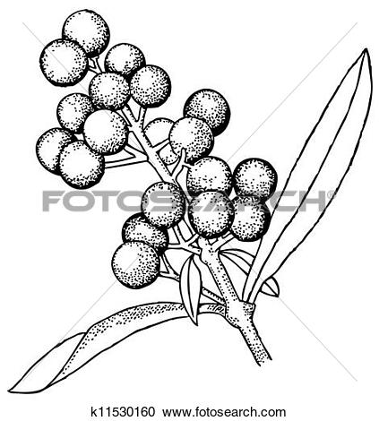 Clipart of Plant Ligustrum vulgare k11530160.