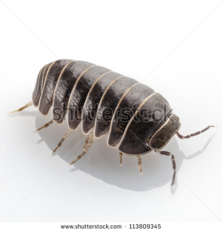 Rolly Polly Clipart.