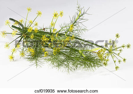 Stock Image of Fennel blossoms (Foeniculum vulgare) csf019935.