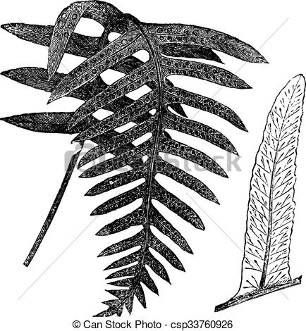 Vector Illustration of Polypody or Polypodium vulgare, vintage.