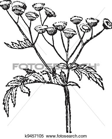 Clipart of Tansy or Tanacetum vulgare vintage engraving k9457105.
