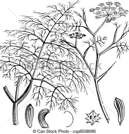 Clipart Vector of Common Fennel or Foeniculum vulgare, vintage.