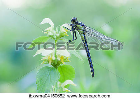 Stock Photo of Common Clubtail (Gomphus vulgatissimus) on Yellow.