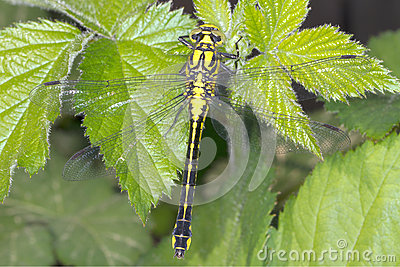 Club Tailed Dragonfly On Dead Leaf Royalty Free Stock Images.