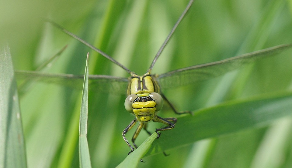 Free photo Vulgatissimus Dragonfly Yellow Dragonfly Insect.