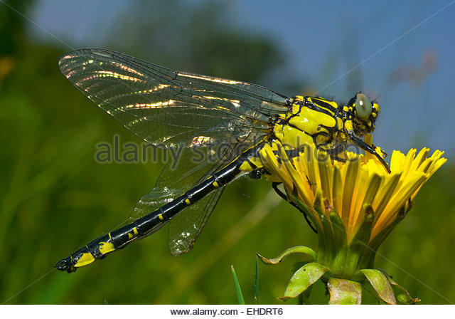 Dragonflies And Flowers Stock Photos & Dragonflies And Flowers.