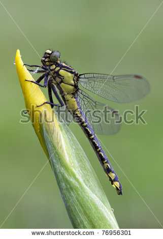 Blue And Yellow Dragonfly Stock Photos, Royalty.