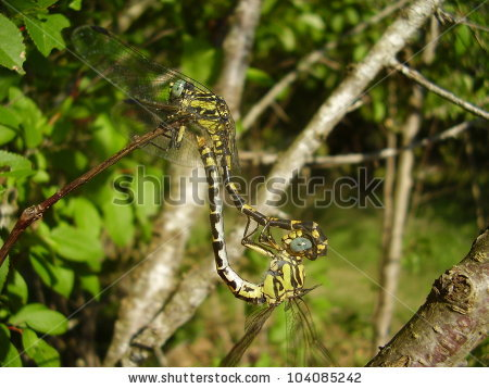 Gomphus Stock Photos, Images, & Pictures.
