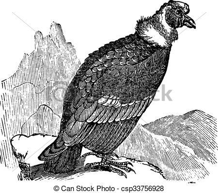 Vector Illustration of Andean Condor or Vultur gryphus vintage.