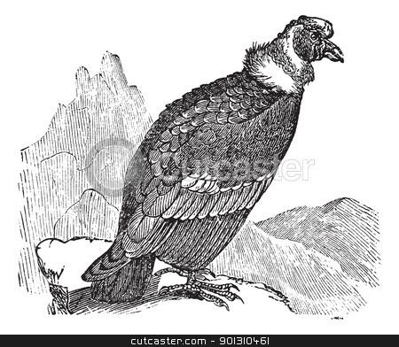 Andean Condor or Vultur gryphus vintage engraving stock vector.