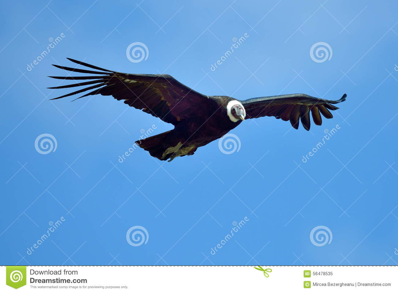 Andean Condor (Vultur Gryphus) Flying Stock Photo.