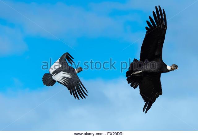 Chilean Condor Stock Photos & Chilean Condor Stock Images.