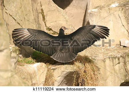 Stock Photo of Andean Condor.