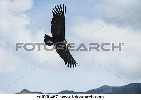 Picture of Peru, Colca Canyon, Andean Condor (Vultur gryphus.
