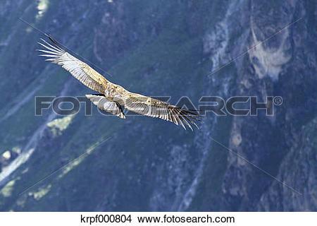 Stock Photo of South America, Peru, Andean Condor, Vultur gryphus.