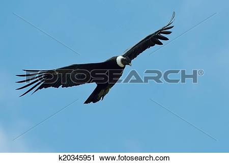 Stock Photography of Andean Condor (Vultur gryphus) k20345951.