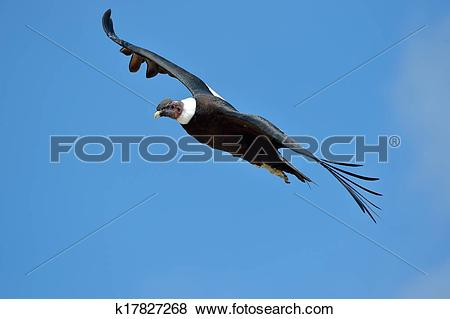 Pictures of Andean Condor (Vultur gryphus) k17827268.