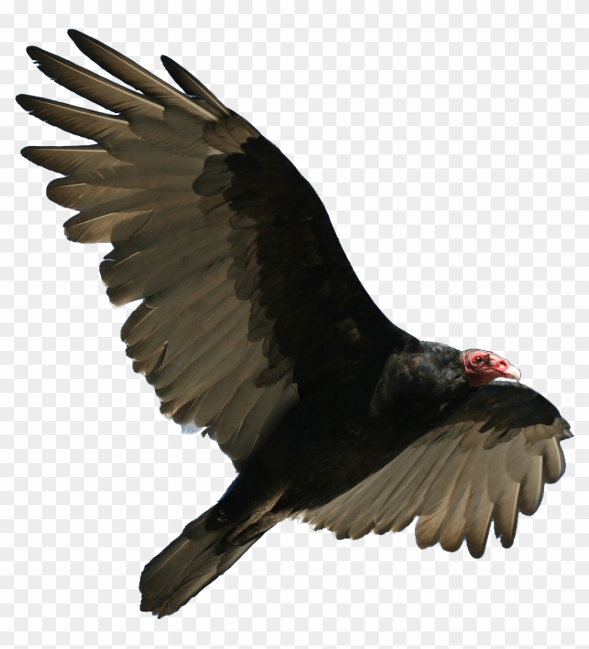 Download Turkey Vulture Flying Transparent Png.