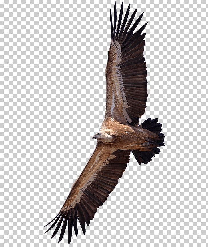 Vulture PNG, Clipart, Animals, Birds, Vultures Free PNG Download.