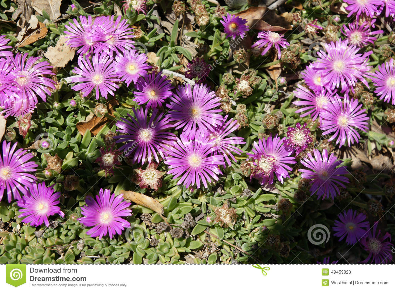 Purple Vygie (Erepsia Anceps) Royalty Free Stock Photos.
