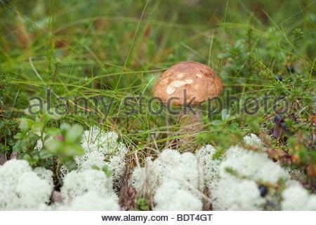 Boletus Stock Photos & Boletus Stock Images.
