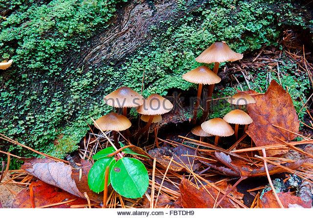 Marasmius Stock Photos & Marasmius Stock Images.
