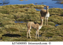 Lauca Images and Stock Photos. 385 lauca photography and royalty.