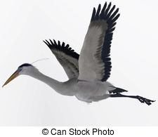 Blue heron Illustrations and Stock Art. 250 Blue heron.