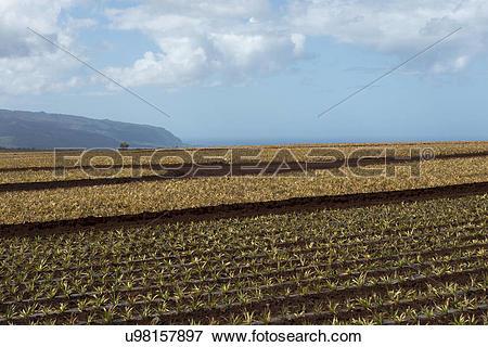 Picture of Pineapple fields, Wahiawa, North Shore, Oahu, Hawaii.