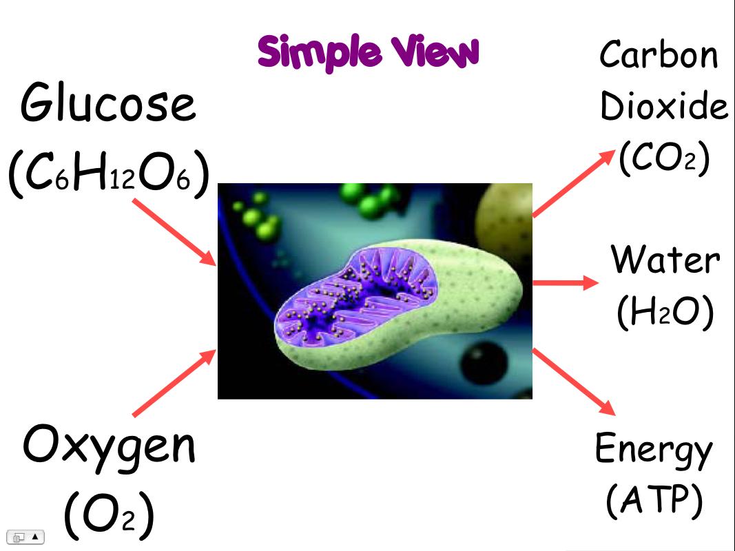 Cellular respiration images clipart.