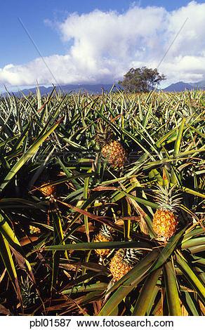 Picture of Pineapple fields, Wahiawa, Oahu, Hawaii pbl01587.