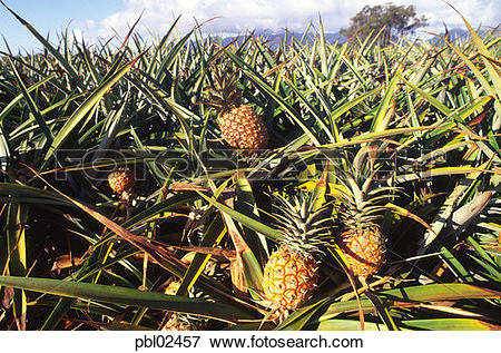 Picture of Pineapple field, Wahiawa, Oahu, Hawaii pbl02457.