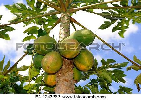 Stock Photo of Papaya Trees Dole Plantation Wahiawa Honolulu.