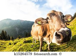 Dehorned Stock Photo Images. 17 dehorned royalty free pictures and.
