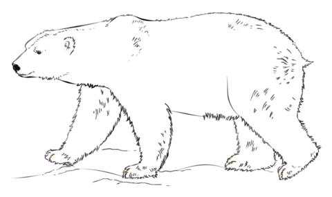 2916 Polar Bear free clipart.