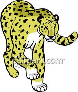Large Leopard Walking Slowly.