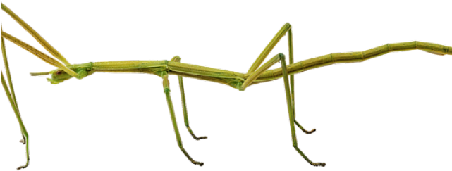 Bugs Clipart Walking Stick.