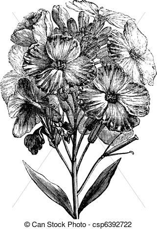 Vector Illustration of Aegean wallflower or Erysimum cheiri.