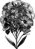 Clipart of Aegean wallflower or Erysimum cheiri vintage engraving.