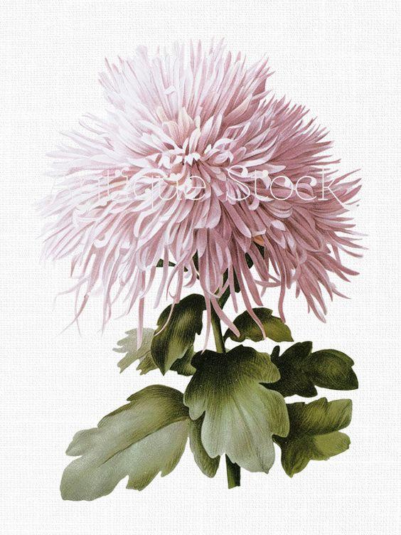 Flower Clipart 'Pink Mum' Botanical Illustration Download Image.