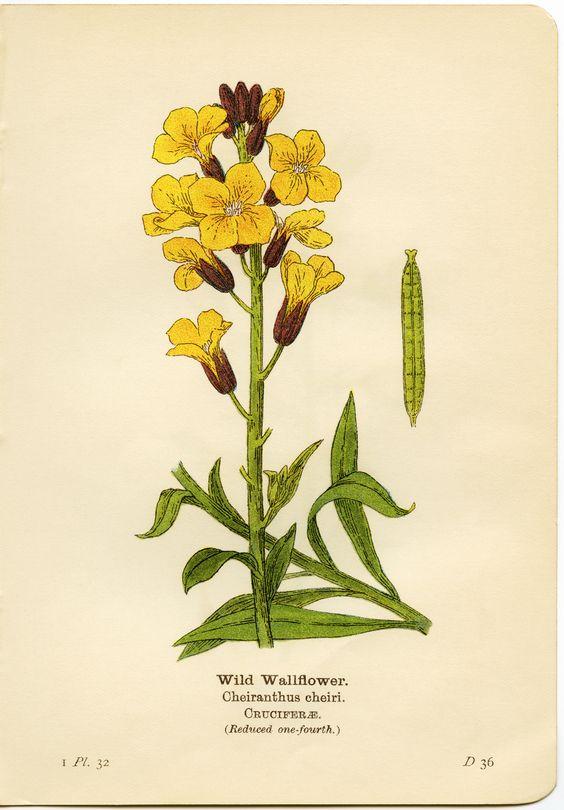 wild wallflower, cheiranthus cheiri, yellow flower printable.