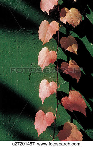 Picture of plants, wall, string, leaves, leaf, vine, ivy u27201457.