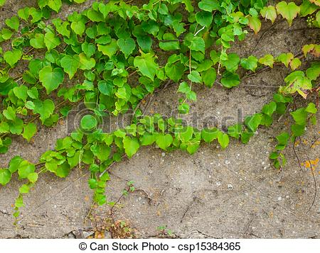 Stock Image of climbing plant against old wall.