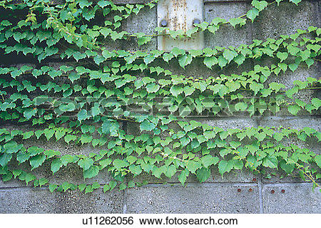 Stock Images of wall, leaf, foreign, plant, green, scenery.
