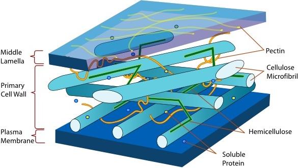 Plant Cell Wall Diagram En clip art Free vector in Open office.
